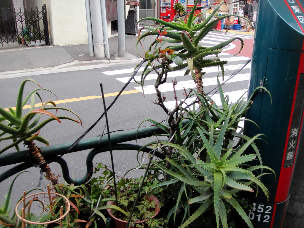 Different variety of Aloe in street garden