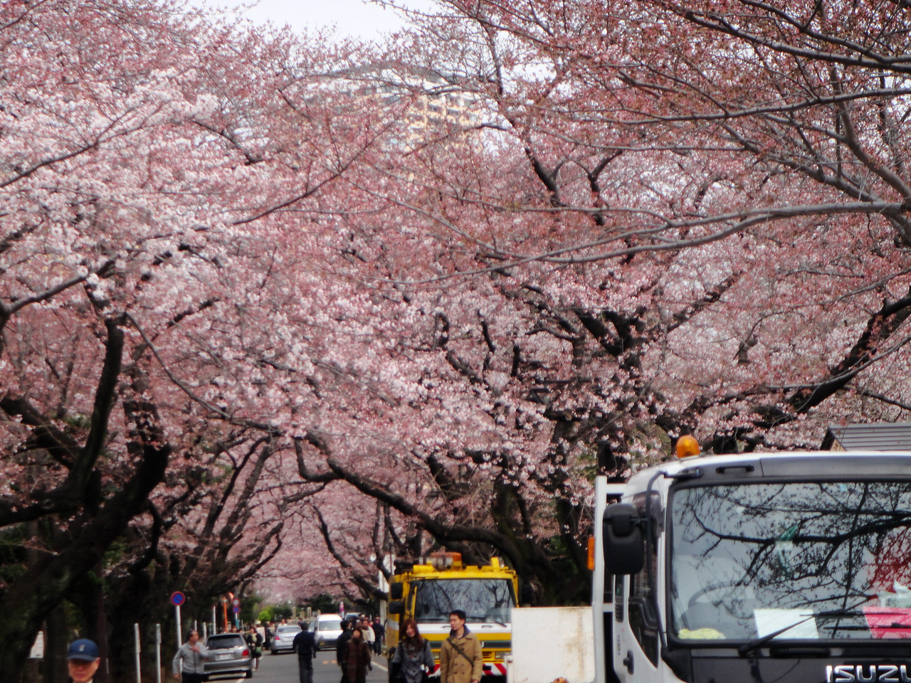 Sakura lined streets and we were there at the perfect time!