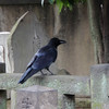 I'm not sure if the ravens were really much larger in Japan, or if there are so many and they let us get closer.  They seemed huge.