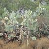 so many BIG cacti