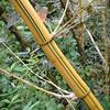 striped bamboo