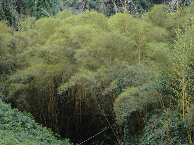 small lovely young bamboo forest