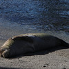 We thought he had died and wash ashore....He's one of 5 monk seals on Big Island, sunning himself to shed his skin.  The nearby ranger was watching and protecting him.