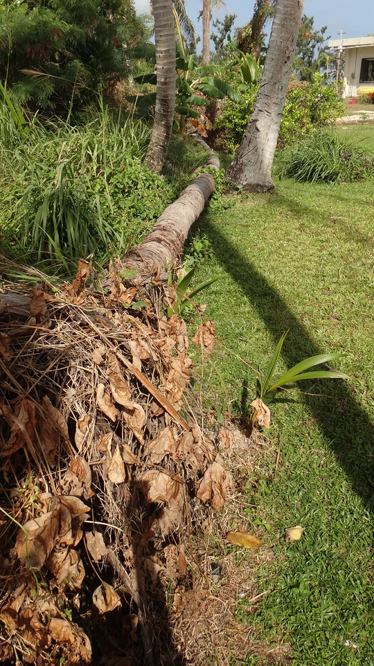 coconut tree down