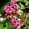 star fruit blooms