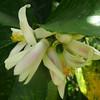 Fragrant lemon blooms