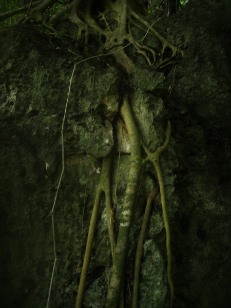 Roots growing into the mountain of coral on the cliff sides.