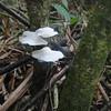 White fungus...is it albino?