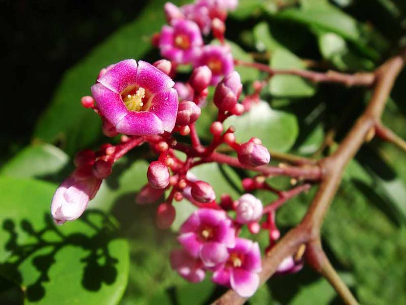 starfruit flowers