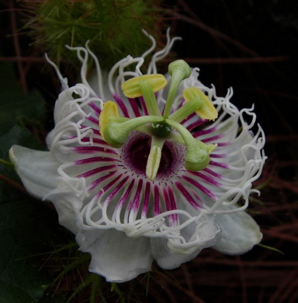 Passion flowers make me want to dance.