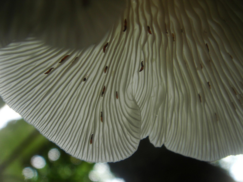 underneath side of a fungus in the jungle, Saipan