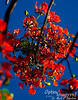 Flame tree flowers against a blue sky.