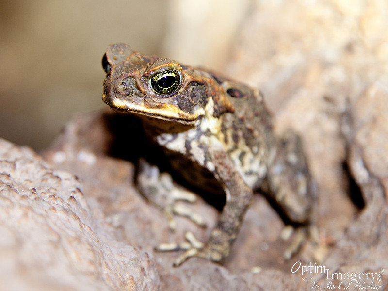 You've heard of The Celebrated Jumping Frog of Calaveras County?  This is the not-so-celebrated sitting toad of Kalabera Cave.  Where is Samuel Clemens when you need him?