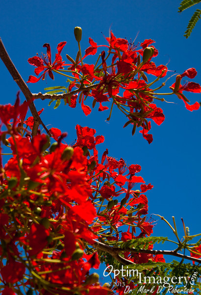 Flame tree blooms.