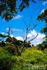 "There is something about dead trees.  I'm not sure why, but certain ones just seem to have a real visual punch.<br /> <br /> If you agree, take a look at the following:<br /> <a href=""http://www.optimimagery.com/CNMI-ON-LAND/SAIPAN-2012/JULY-4-2012-DEAD-FLAME-TREE-AT/24001596_XQjNsz"">http://www.optimimagery.com/CNMI-ON-LAND/SAIPAN-2012/JULY-4-2012-DEAD-FLAME-TREE-AT/24001596_XQjNsz</a><br /> <br /> -- OR --<br /> <br /> <a href=""http://www.optimimagery.com/Travel/JANUARY-AND-FEBRUARY-2010/JAN-31-2010-HAWAII-VOL-V/i-ZJbtMDH/1/X3/hj%20tree-X3.jpg"">http://www.optimimagery.com/Travel/JANUARY-AND-FEBRUARY-2010/JAN-31-2010-HAWAII-VOL-V/i-ZJbtMDH/1/X3/hj%20tree-X3.jpg</a><br /> <br /> -- OR --<br /> <br /> <a href=""http://www.optimimagery.com/Travel/JULY-AND-AUGUST-2011/YELLOWSTONE-VERY-QUICKLY/i-tjtcfrw/1/X3/lo%20mammoth%20hotsprings%20dead%20tree%20with%20reflection-X3.jpg"">http://www.optimimagery.com/Travel/JULY-AND-AUGUST-2011/YELLOWSTONE-VERY-QUICKLY/i-tjtcfrw/1/X3/lo%20mammoth%20hotsprings%20dead%20tree%20with%20reflection-X3.jpg</a>"
