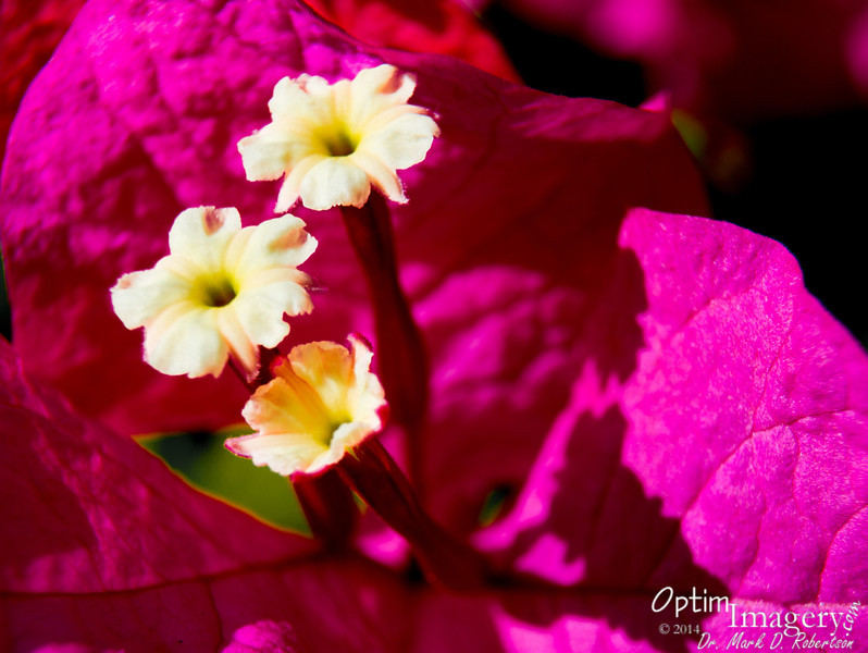 Prior to heading to El Toro, a couple of shots of flowers in my yard.  First a Bougainvillea.