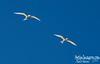 FAIRY TERNS (Gygis alba) II