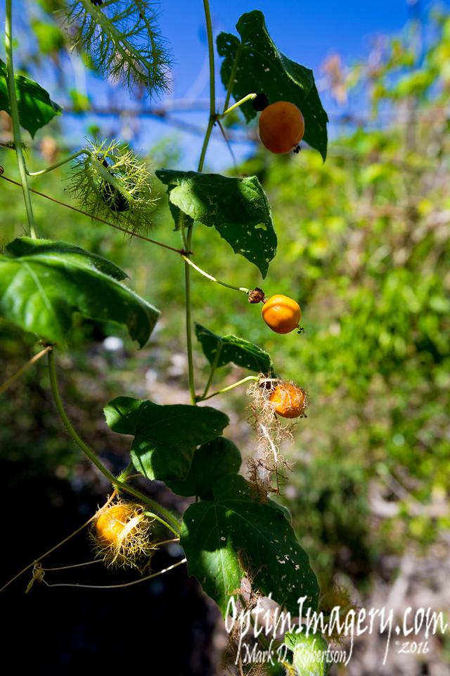 WILD PASSION FRUIT VINE (Passiflora foetida)