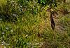 YELLOW BITTERN (Ixobrychus sinensis)