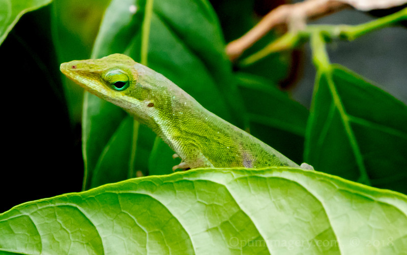Also called an American chameleon, but not a true chameleon. They can change colors, however (which is probably why they are called American chameleons).