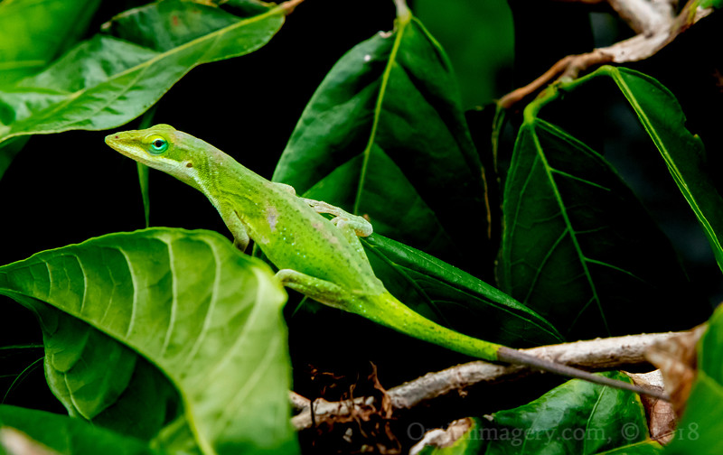 SEEN TODAY WALKING AMONG MY CACAO TREES (Anolis carolinensis crawling along on Theobroma cacao)