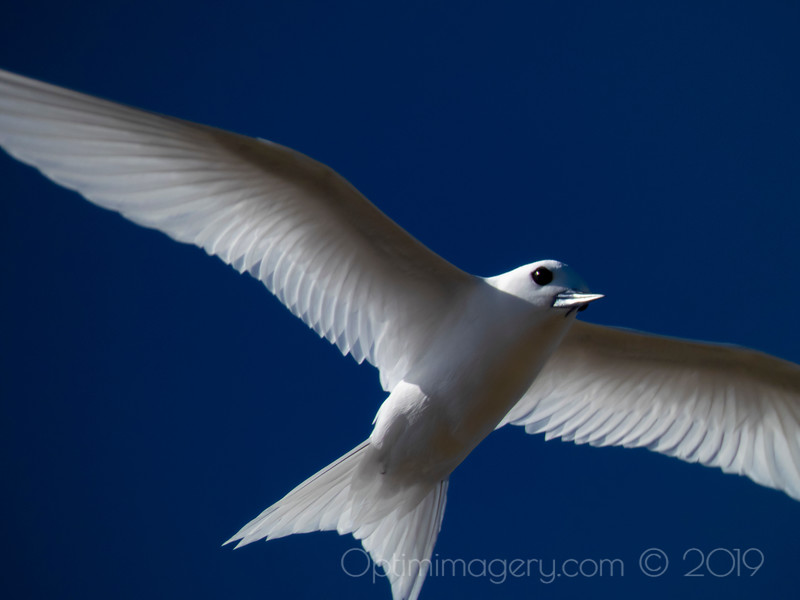 FULLY ZOOMED IN ON FAIRY TERN