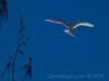 WHITE FAIRY TERN (Gygis alba)