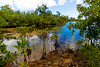 YOUNG MANGROVES