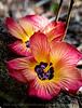 BEACH HIBISCUS (Hibiscus tiliaceus)