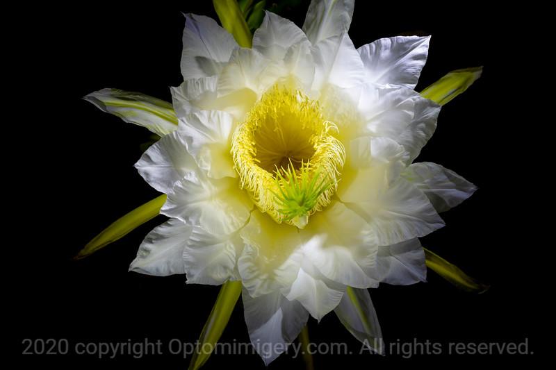 DRAGON FRUIT (also called Pitaya) FLOWER