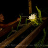 BEV PHOTOGRAPHS A DRAGON FRUIT FLOWER