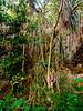 NICE PANDANUS TREES