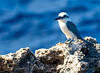 MARIANAS COLLARED KINGFISHER (Todiramphus albicilla)