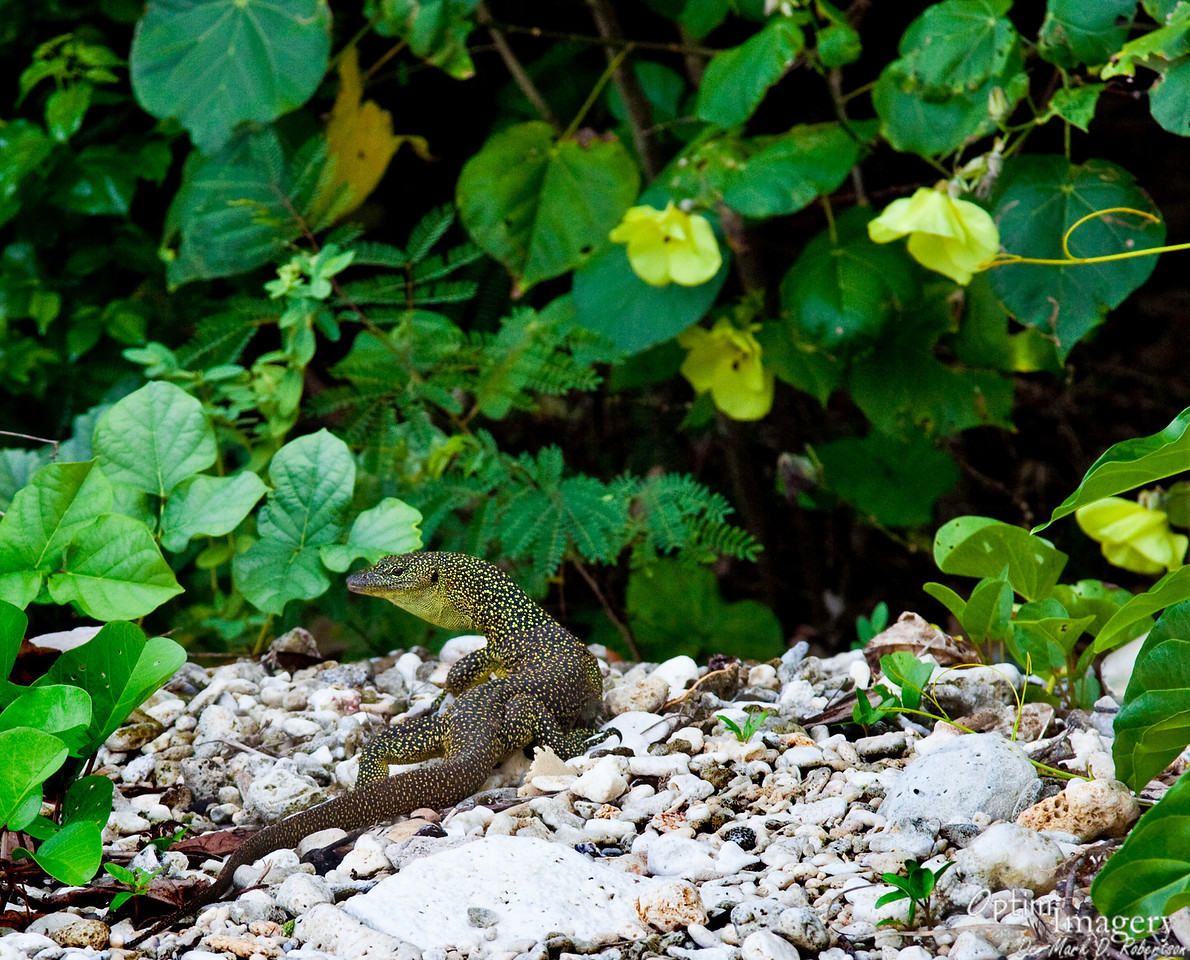 Monitor lizard (Varanus indicus).  It is a rare and lucky day when I see one of these guys!  He was probably a little over 2 feet long.  Saipan supposedly has some up to 5 feet long, but I have never seen one that size.