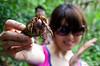 One of Saipan's more abundant wildlife species.  Juvenile coconut crab.