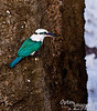 I have heard that King Kamehameha had feathers from Saipan's collared kingfishers sent to him in Hawaii because of their beautiful sheen.  Considering what he would have had to choose from in those days on Hawaii, however, I have some doubts about this local myth.  But who knows?