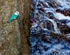 Collared Kingfisher (Halcyon chloris).