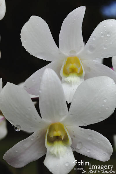 Some type of orchid.  It rained pretty hard just after I got to the Botanical Gardens, so everything was clean and covered with water droplets.  Notice that you have two flowers, one behind the other.  Look closely at the water droplet hanging to your lower left.  You will see a closer shot of it next.