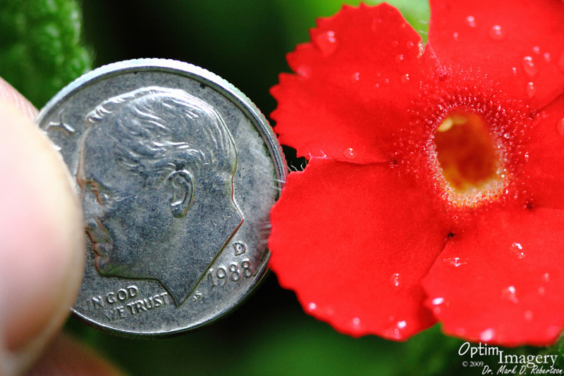 Looking in Mr. Roosevelt's ear to give you some size perspective on this little flower.  I'm sure that you are all aware that Mr. Roosevelt is the ONLY U.S. President to serve four terms.......