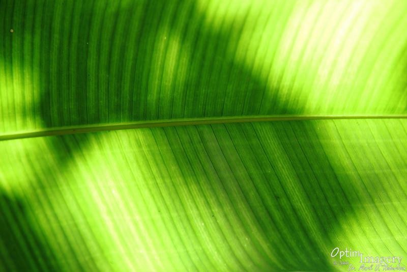 Sun and shadows through leaf.  I think it may be a lobster claw plant leaf.