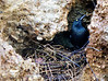 Nest of a pair of Micronesian Starlings.