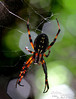 Sorry if spiders give you the creepy-crawlies (like they do me), but Saipan spiders are some of our prettier critters, really.  Especially when the sun is shining through some of their body parts.