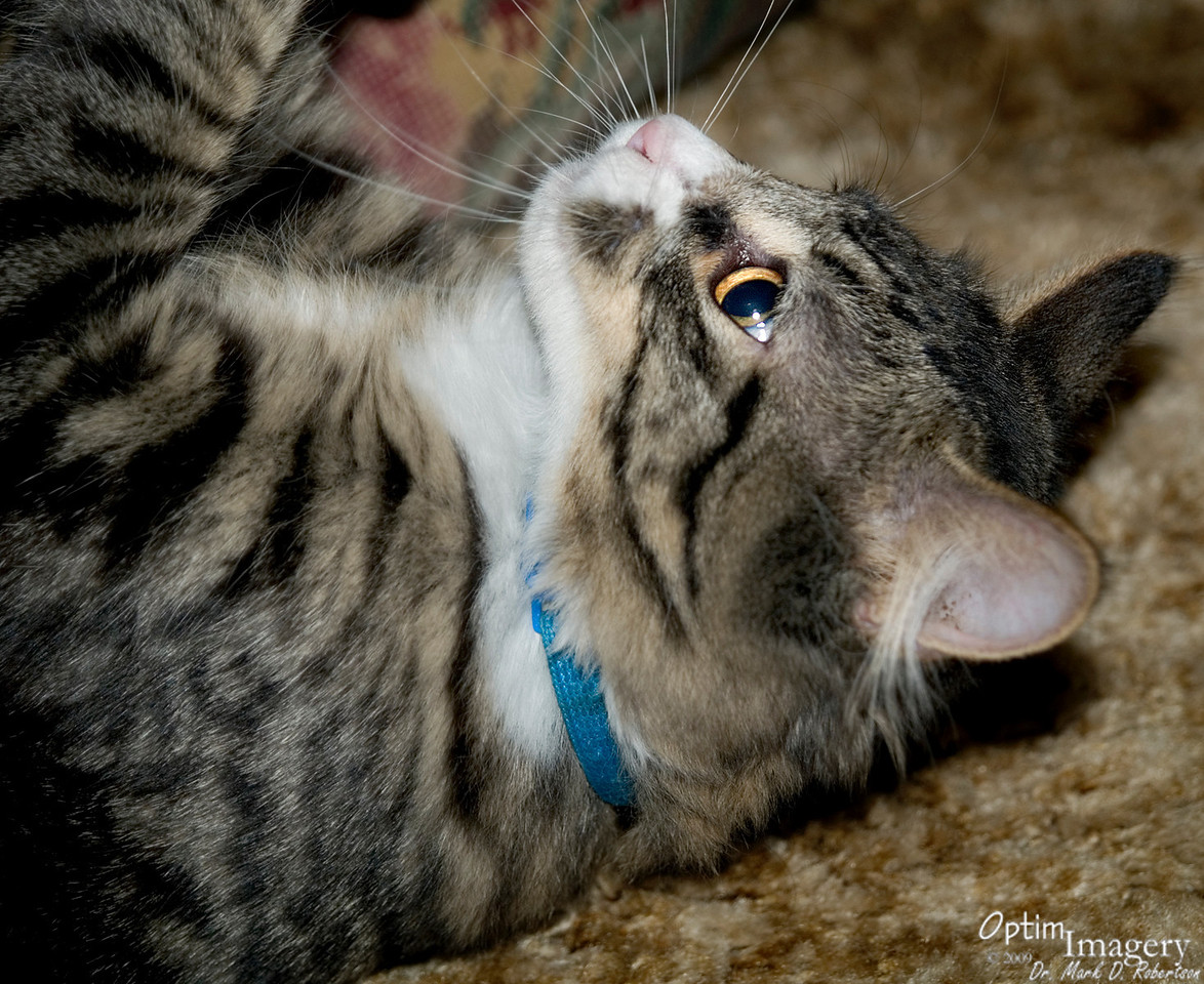 """Samu, even as a kitten, had a gentle enough disposition to become a shop cat at Bev's and Patti's shop (Spirals) in Chelan, WA (see their website by clicking the following link):  <a href=""""http://spiralsofjoy.com/"""">http://spiralsofjoy.com/</a>"""