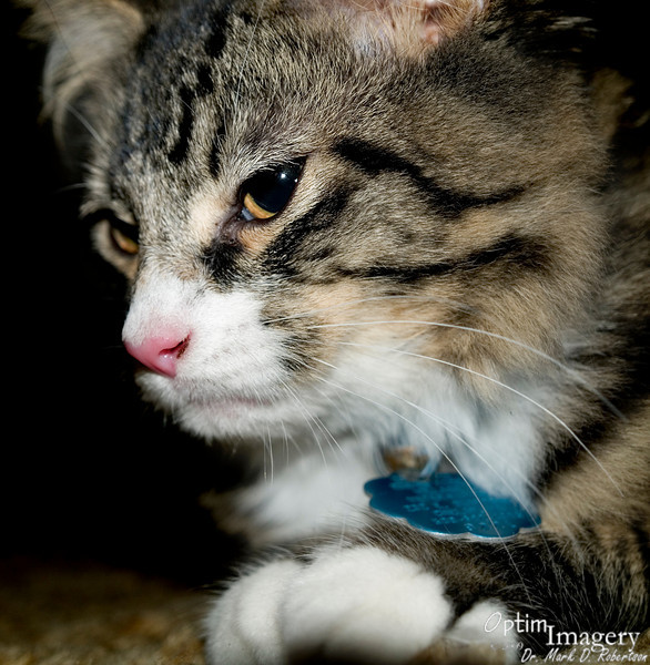 Samu is specifically a Maine Coon, the second most popular breed of cat in the United States.