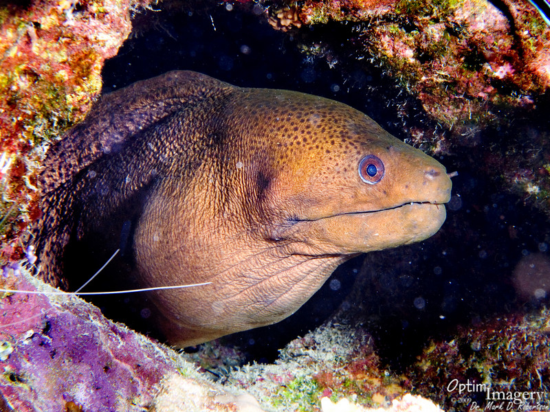 ...and right there in the shadows (he is illuminated here by my flash) was this Giant moray (Gymnothorax javanicus)!