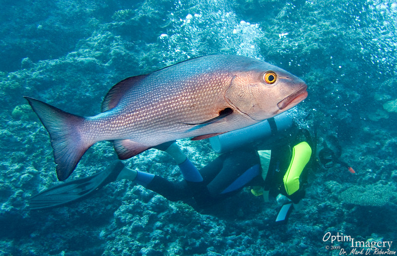 Twinspot snapper (Lutjanus bohar).  Gee, Ron:  That almost looks like it HURT!