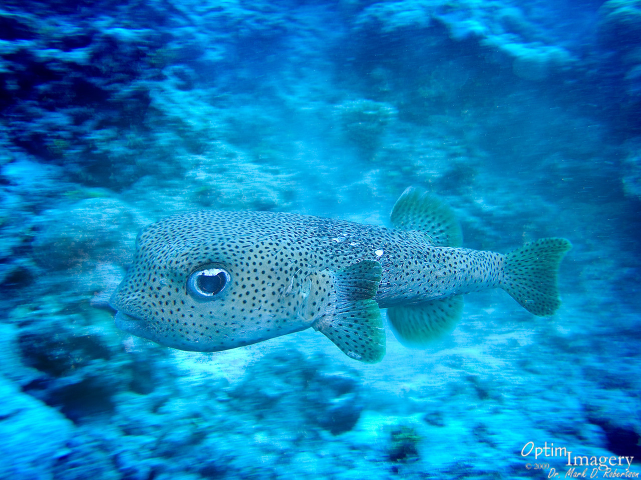 As Rose and I were about to end our dive, we came upon a group of very animated Porcupine fish (Diodon hystrix).  Four of them, to be more precise.  They were obviously involved in some porcu-whoopie-making.  They were darting SO fast that this is the only shot I got which came out decent at all.