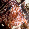 """And ANOTHER Rose find!  Lionfish (Pterois volitans).  OK, maybe we need to call her """"nudi-porcu-moray-lion woman"""" (-espealidocious)!"""