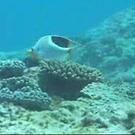 Well, we're on our way out to the Wing Beach Canyon for the first time this year!  This clip starts with a Saddled butterflyfish (Chaetodon ephippium), then to Rose headed north, and finally to Dennis and Judy, leading the way.