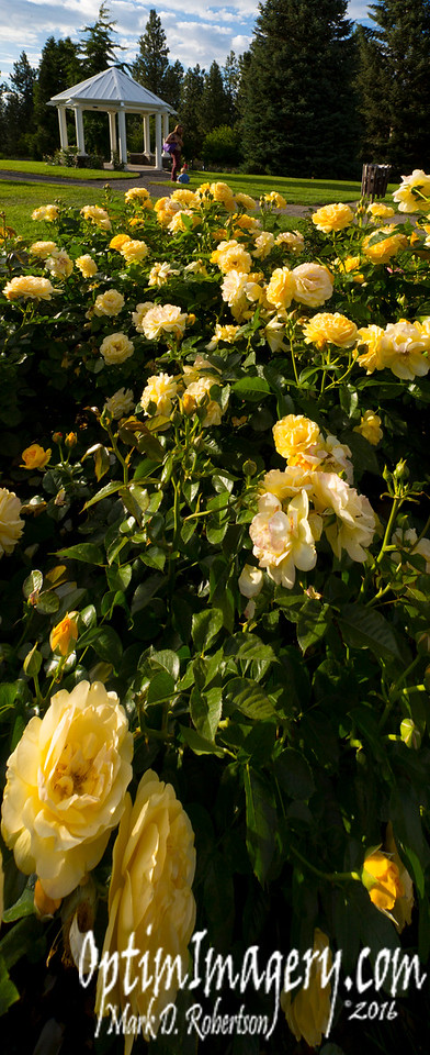 YELLOW ROSES, RIO, AND ZAC